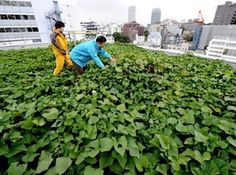 Office Farming- Roof top Tokyo