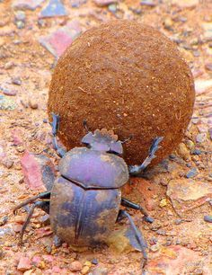 dung beetle silhouette - Google Search
