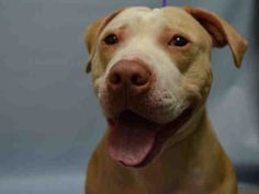 SAFE RTO 7-17-2015 --- Brooklyn Center BABY – A1042452  FEMALE, TAN / WHITE, AM PIT BULL TER MIX, 1 yr OWNER SUR – EVALUATE, NO HOLD Reason LLORDPRIVA Intake condition UNSPECIFIE Intake Date 07/02/2015
