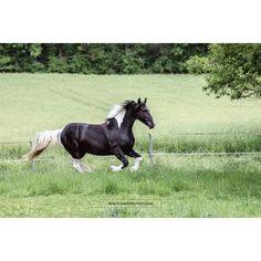Barockpinto · Barockpinto Horse · Barockpferde · Schecken Pferde · Pferdefotografie · Pferdefotograf · Horse Photography · Horse Photoshoot · Equine Photography · Equestrian Photography · Equine Photoshoot · Pferdefotos · Pferdeportrait · Pferdeshooting · Horse Pictures · Horse Portrait · Horse Shooting Horse Portrait, Horse Pictures, Equine Photography, Equestrian, Photoshoot, Horses, Animals, Pinto Horses, Animales