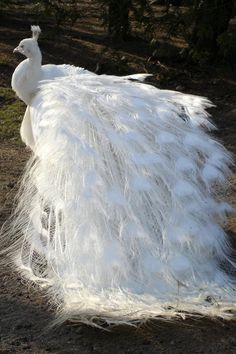 A white peacock which is a genetic variant of the Indian Blue Peafowl.