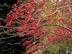 Beautiful fall colors from a Dolgo crabapple ( Malus 'Dolgo' ) grown locally out East End Road