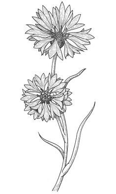 cornflower drawing - Google Search