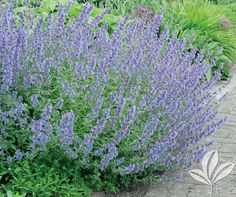 Walker's Low Catmint Nepeta faassenii 'Walker's Low' An excellent perennial for borders or edging in … Continue reading NEPETA walker's low catmint → Butterfly Weed, Butterfly Plants, Dry Garden, Pink Garden, Plant Design, Garden Design, Full Sun Perennials, Planting Plan, Colorful Plants