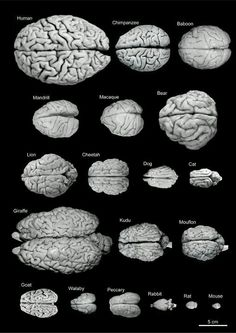 Brain size &  weight of various animal species. (need to find a dolphin, elephant, whale... Then we'd have some comparative anatomy to work with!)