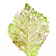 Leaf lace...hungry bug