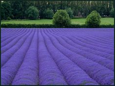 Lavender Fields, Shoreham, Kent, England