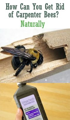 Yes, wood boring bees are notorious for drilling holes in wooden furniture and damaging it. Read on to know all about them and the ways to get rid of carpenter bees infestation: Carpenter Bee Spray, Kill Carpenter Bees, Wood Boring Bees, Wood Bees, Bee Repellent, Bee Killer, Garden Pests, Plant Pests, Garden Insects