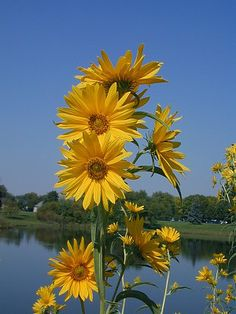 10 Reasons to Plant Prairie Sunflowers, Easiest Flowers Ever! – Square Pennies