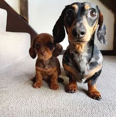 #dachshund #pets #dogs #dogsofinstagram #puppy