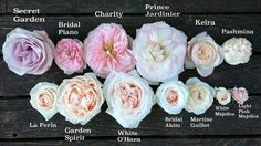 white ohara garden rose - Google Search
