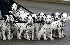 Adam Morley of Melton Mowbray, Leics, takes a litter of 18 playful dalmatian pups for a walk  Picture: GEOFF ROBINSON