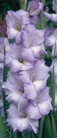 Colorful gladiolus flowers cover tall stalks from top to bottom. Plant gladiolus bulbs along a foundation for a dramatic summer display. Bulb Flowers, My Flower, Purple Flowers, Beautiful Flowers, Gladiolus Flower, Gladiolus Bulbs, Birth Flower, Pastel Purple, Beautiful Beautiful