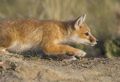 animal entre el zorro y el gato - Buscar con Google