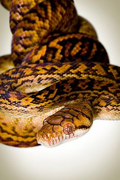 carpet python maybe? Reticulated Python, Colorful Snakes, Wild Animals Pictures, Hissy Fit, Snake Art, Cute Snake, Beautiful Snakes, Snake Eyes, Snake Patterns