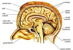 Componentele encefalului Anatomy And Physiology, Human Anatomy, Ayurveda, Human Body, Nursing, School, Unique, Google, Medicine