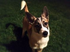 Bella is an adoptable Corgi Dog in Decatur, AL. Meet Bella - a truly unique rescue story! Bella was found while hiking deep into the woods. Hearing a yelp, she was found hiding under a rock on a cragg...