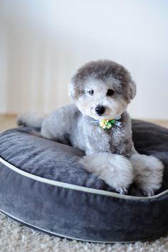 #haircut #toypoodle #silverpoodle