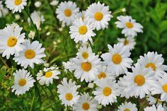 Shasta Daisies: How to plant, grow, and care for daisy flowers from The Old Farmer's Almanac. Flowers Garden, Cut Flowers, Garden Plants, Daisy Flowers, Vegetable Garden, Summer Flowers, Gerbera Daisies, Garden Soil, Flowers Nature