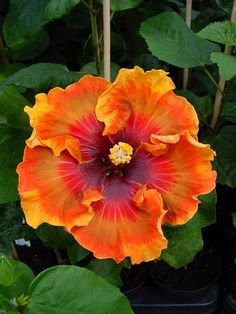 Dalen's Annie Wouters-Tietema - hibiscus
