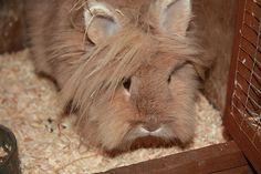 How+to+Care+for+Lionhead+Rabbits+--+via+wikiHow.com