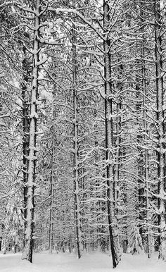 Ansel Adams, Pine Forest in Snow, Yosemite National Park, 1933. ⛰Ansel Adams Photography : More At FOSTERGINGER @ Pinterest ⛰