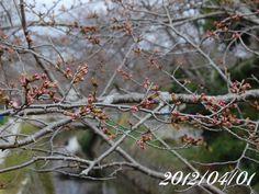 京都 哲学の道 桜 2012/04/01