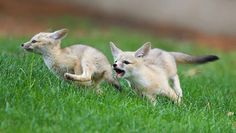 Two young kit foxes are out for a run! San Joaquin Kit Foxes (Vulpes macrotis mutica) are considered endangered by the U.S. Fish and Wildlife Service.  Posted by Rick Derevan