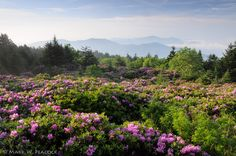 The rhododendron gardens on Roan Mountain.  TN/NC border  Photo: Mark W Peacock