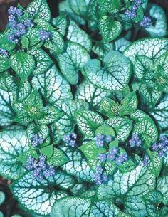 Siberian Bugloss for sale buy Brunnera macrophylla 'Jack Frost' PP 13,859