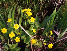 The tadpoles are glad to see the Marsh Marigolds in flower in their pond.