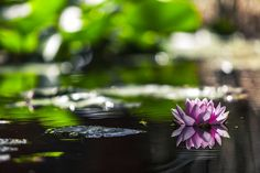 Free Image on Pixabay - Water Lily, Water, Pink, Lily, Pond Sacred Lotus, Water Images, Lily Pond, Buddhist Art, Chinese Buddhism, Beautiful Park, Pink Lily, Gardening Supplies, Water Garden