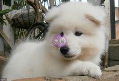Hermosos cachorritos samoyedo el mejor regalo para ti Husky, Dogs, Animals, Samoyed, Gift, Get Well Soon, Animales, Animaux, Pet Dogs