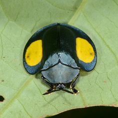 Tortoise beetle | Flickr - Photo Sharing!