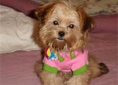 Shorkie Pictures Full Grown - Bing Images