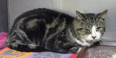 Middletown Animal Control Page Liked · October 21 · striped tabby black grey white  https://www.facebook.com/middletownctanimalcontrol/photos/a.569349239763107.1073741828.569343209763710/1038801856151174/?type=3&theater  This guy was found on Plaza Dr in Middletown, CT. He is not neutered and has a bit of an eye infection. We think he may have been abandoned by a resident. Please call if you might know him. 860-638-4030