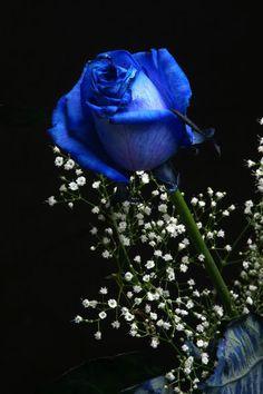 heaven blue rose gallery: taramaso photo