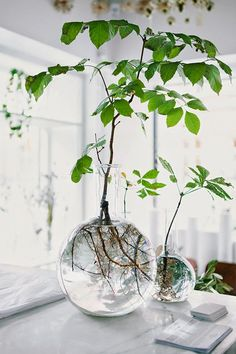 Trees in glass Would make an interesting centerpiece for Tu B'Shevat