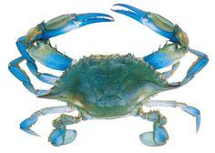 Blue Crab: Tunisia's New Million Dollar Commodity