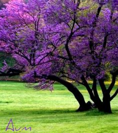 The Red Bud tree ... a lawn favorite