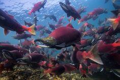 Os cardumes de salmão vermelho que chegam aos rios e lagos do Alasca no período da desova são imensos