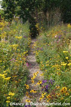 Aster Path at Hayefield, with Aster novae-angliae, Rudbeckia fulgida, Patrinia scabiosifolia, and Molinia caerulea 'Skyracer'; Nancy J. Ondra