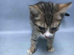 PETER PAN - A1091718 - - Brooklyn  *** TO BE DESTROYED 10/03/16 *** CUTIE WITH A COLD!!….PETER PAN is 8 weeks old and just a tad underweight…..but that's because he has a cold and things just don't smell right to a kitten with a cold!! Meds will cure PETER PAN'S cold but they won't cure what the ACC has in store for him tomorrow….BE PETER PAN'S TINKERBELL AND HELP HIM OUT ESCAPE THIS DILEMMA!! He is publicly adoptable or you c