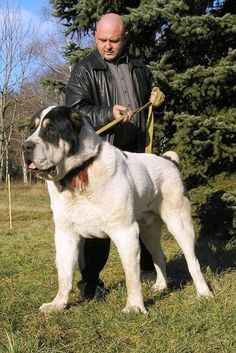 алабай  central asian ovcharka--incredible looking dog
