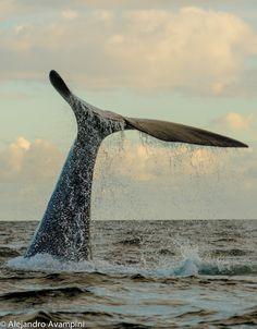 Avistaje de Ballenas en Puerto Pirámides - Península Valdés   #whale #ocean #marine #patagonia #argentina