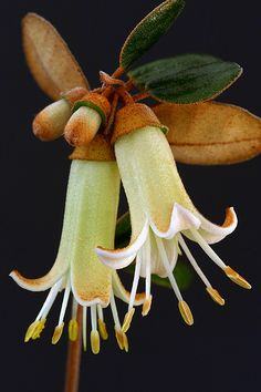 Correa backhouseana. What a beautiful flower from a bud that looks like an acorn!