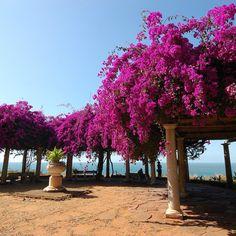 #Cocoscollections bougainvillea vertical garden plant