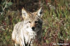 Seal Beach CA: Today. 10/5. Starts at noon. PROTEST the killing of coyotes!!!