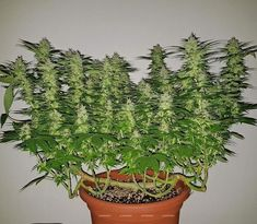 WhiteWidow Medical Marijuana Project Information Marijuana Info Cannabis Info Weed Growing Techniques Project Difficulty: Simple to Medium MaritimeVintage.com