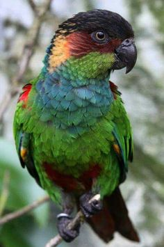 Beautiful Blue  Throated Conure Parrot!